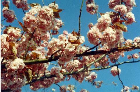 なんと、春先には八重桜が
